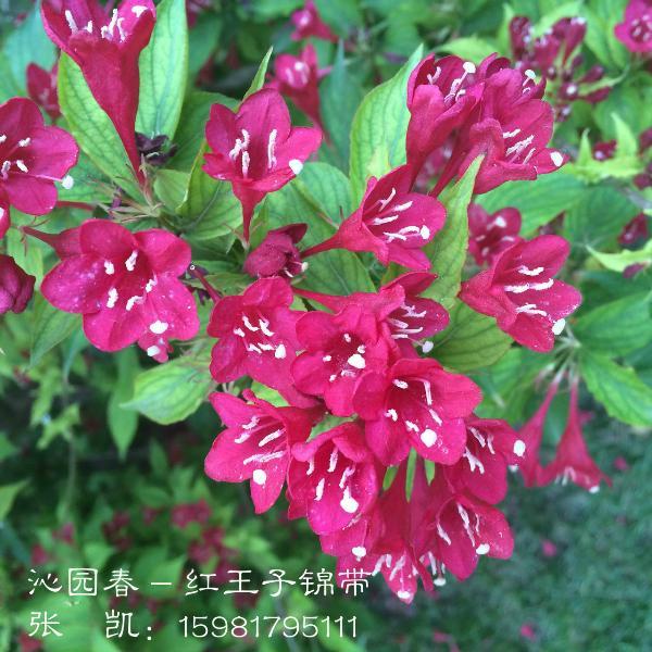 红王子锦带