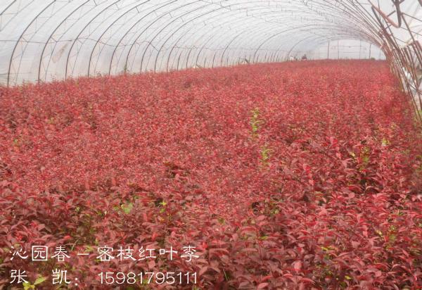 营养钵密枝红叶李