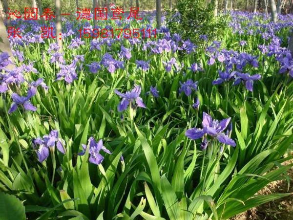 洒金柏和千头柏如何区分新疆花卉批发来教您