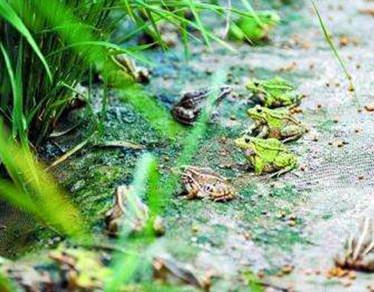 江西人关于青蛙养殖要注意的细节事宜