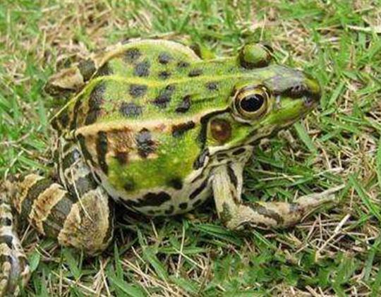 青蛙不吃食物是什么原因