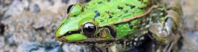 江西青蛙养殖基地带您了解黑斑蛙是怎样繁殖、产卵和孵化的