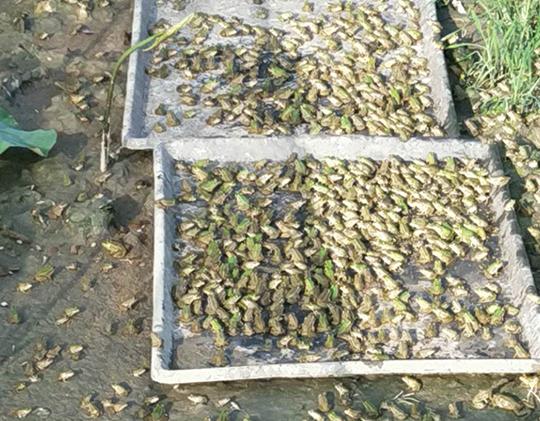 你知道青蛙养殖中引发青蛙脑膜炎的原因是什么吗?