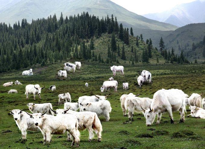 甘肃天祝特产白牦牛
