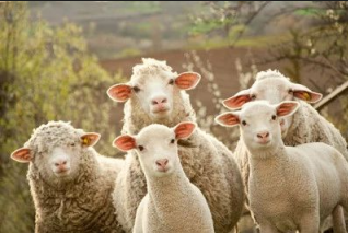 羊粪有多神奇