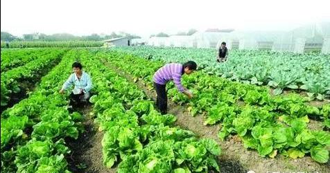 菜田如何施用有机肥