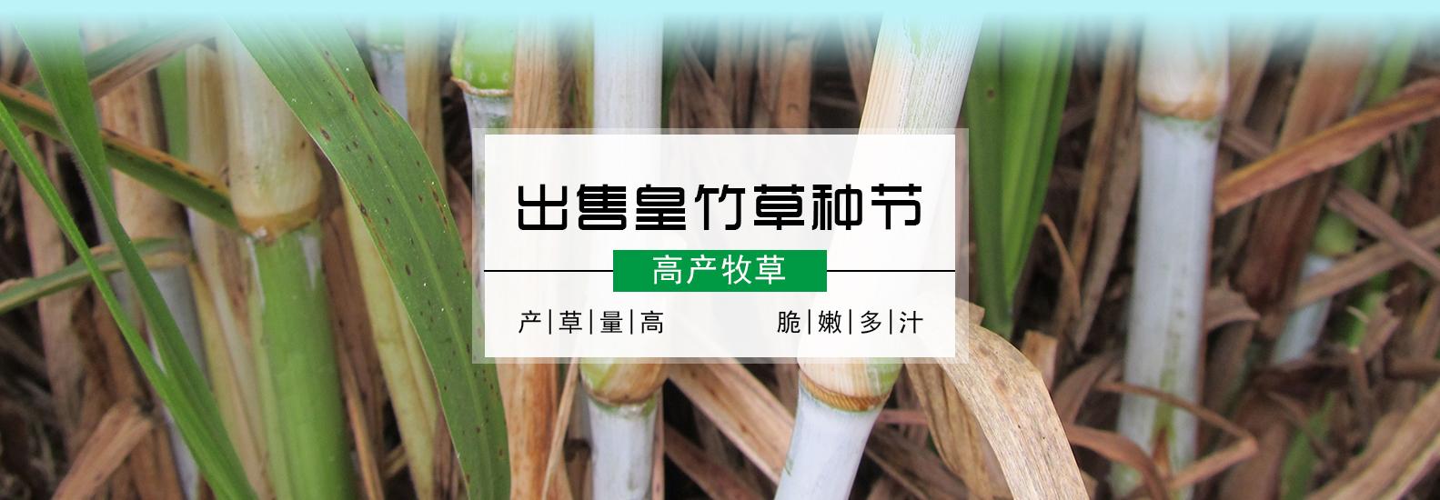 新型皇竹草种植