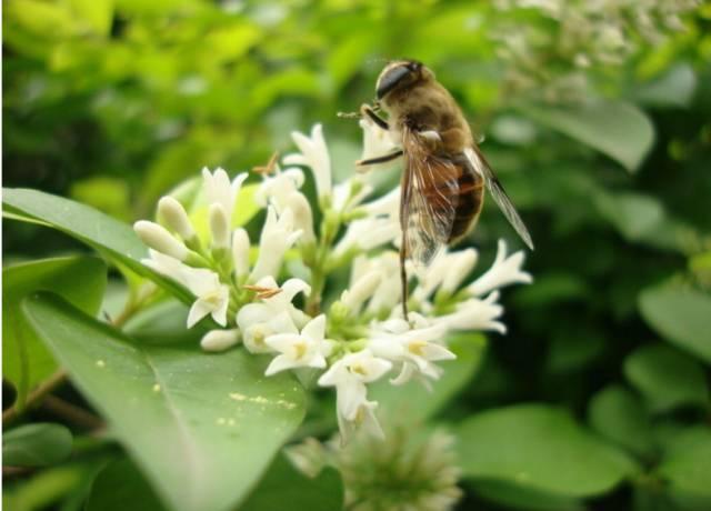 东北椴树蜜哪家更天然就找黑龙江蓝沃蜂蜜天然纯正