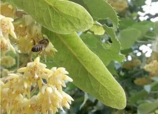 蓝沃蜂蜜厂-高品质黑龙江黑蜂东北椴树蜜
