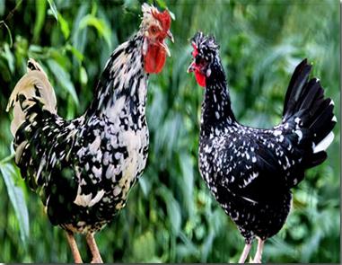 鸡苗种鸡-贵妃鸡