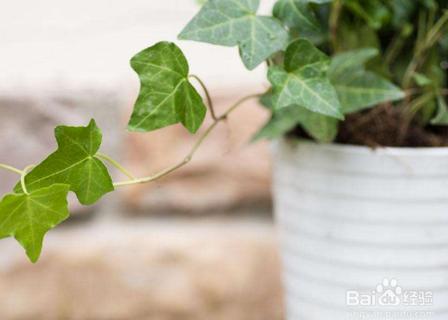 城西区花卉绿植租赁公司告诉您养常春藤的好处