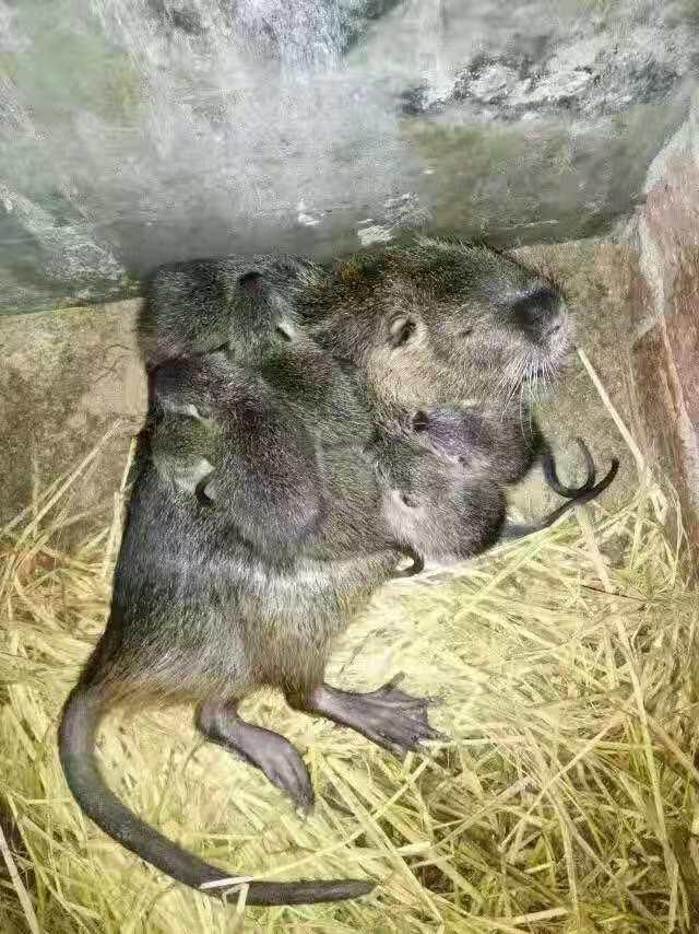如何预防海狸鼠疾病,海狸鼠疾病预防方法