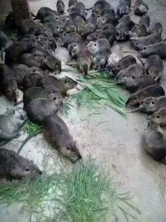 海狸鼠是河狸吗?你了解多少海狸鼠知识
