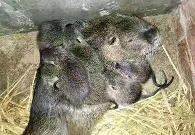 海狸鼠主要吃什么,养殖海狸鼠要了解的生活习性