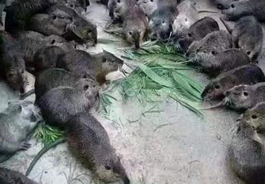 为什么养殖海狸鼠,海狸鼠带来哪些营养价值