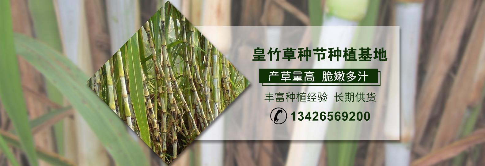 江西皇竹草种植