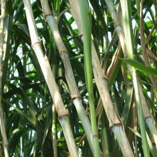 江西皇竹草种植方法