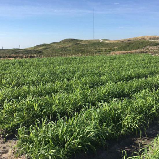 江西新型皇竹草种植