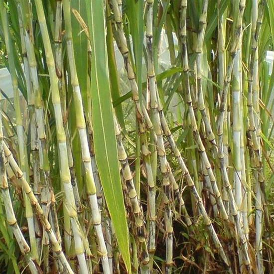 皇竹草牧草种节