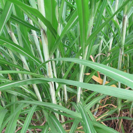 新型皇竹草牧草
