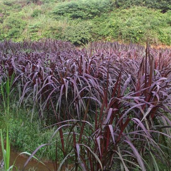 种植皇竹草的优势有哪些