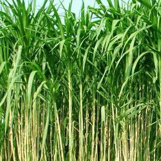 吉安皇竹草种节