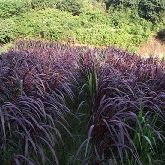 高产紫色皇竹草