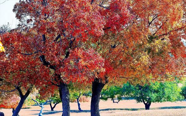 五角枫树根部出现红褐色的圆斑不容忽视,这是要枯死的现象