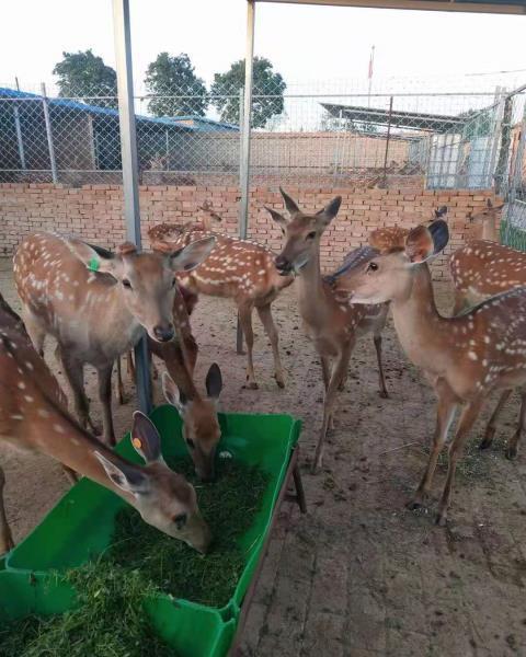 梅花鹿驯养基地