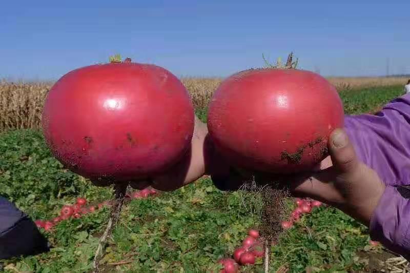 萝卜种子价格及种植方法