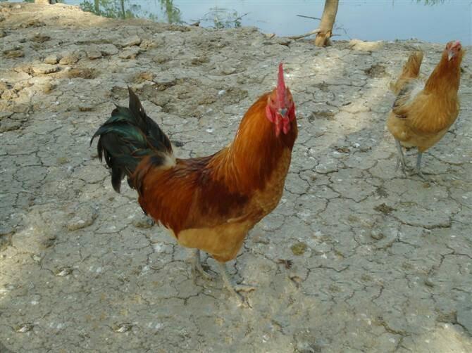 淮南王青年鸡