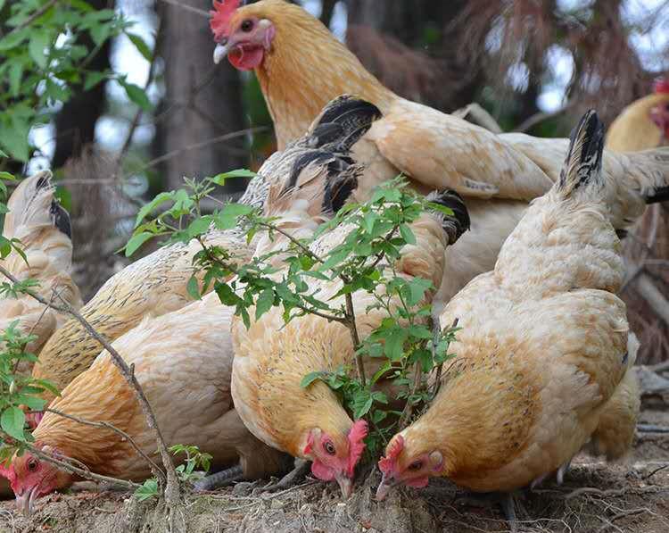 汉江鸡苗养殖