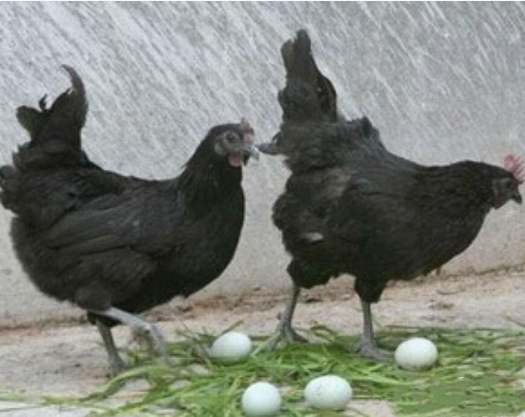 五黑一绿鸡苗