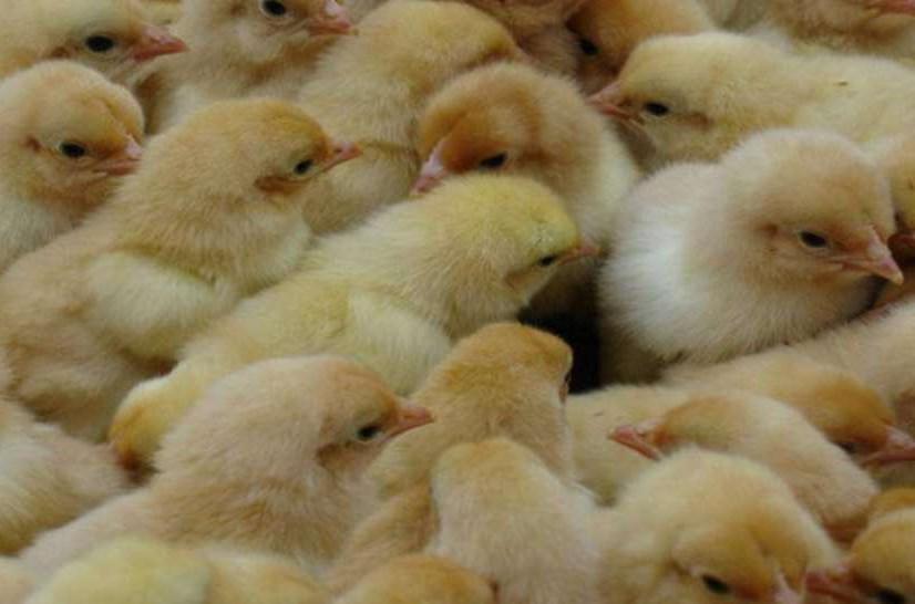 迎来春季襄阳鸭苗养殖季赶紧来畅群买鸭苗吧