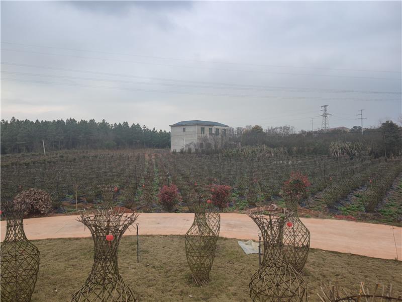 公司苗圃(紫薇)