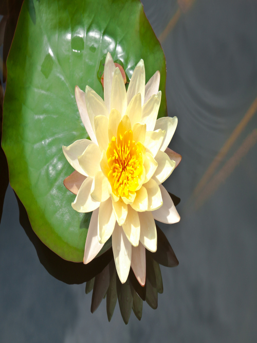 河北睡莲种植基地讲述睡莲的养护方法