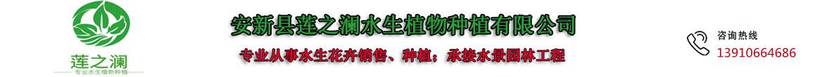 安新县莲之澜水生植物种植