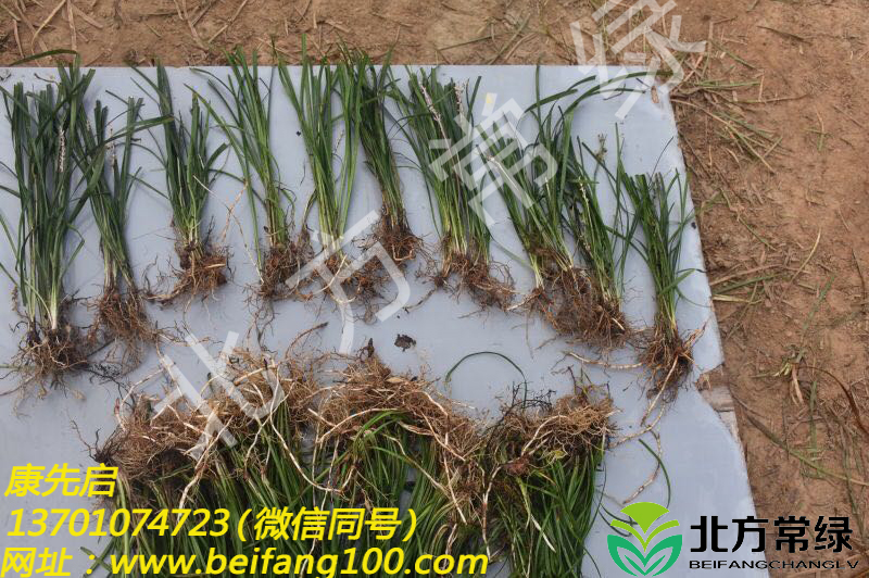 麦冬草小苗供应商优选北方常绿草坪