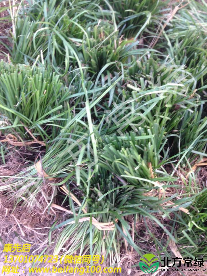 麦冬草价格是多少?