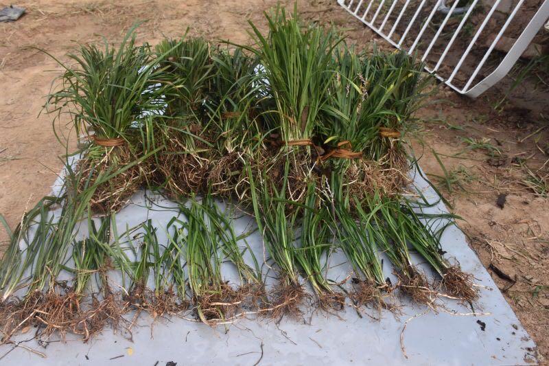 麦冬草供应厂家总结麦冬草田间管理五点知识