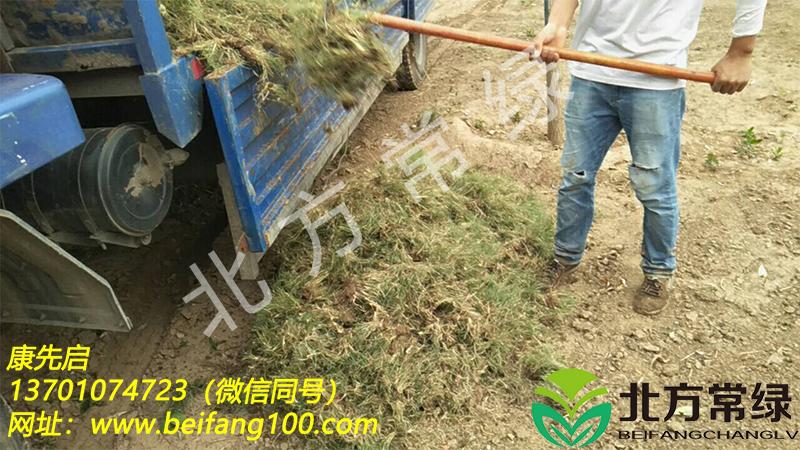 北京野牛草种植基地介绍