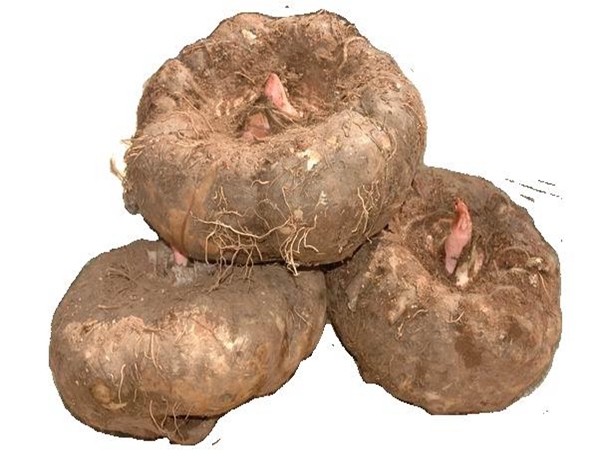 四川魔芋主要栽培技术要点讲解