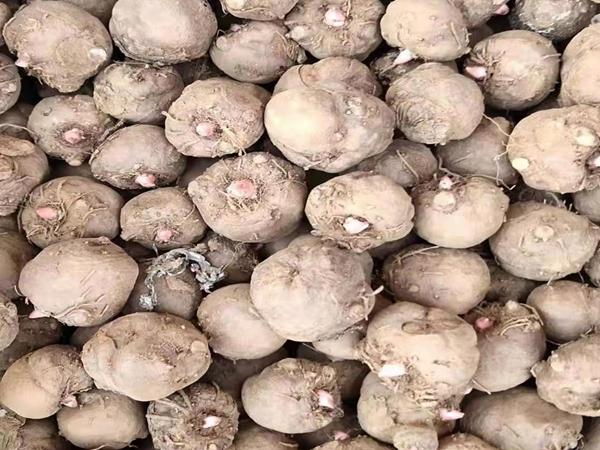 魔芋栽培模式