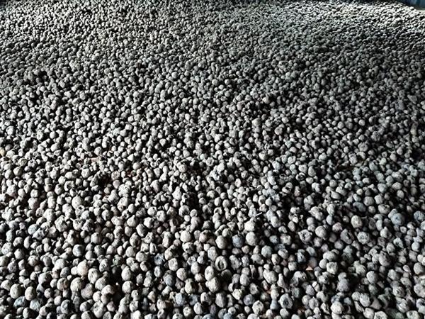 四川魔芋种子