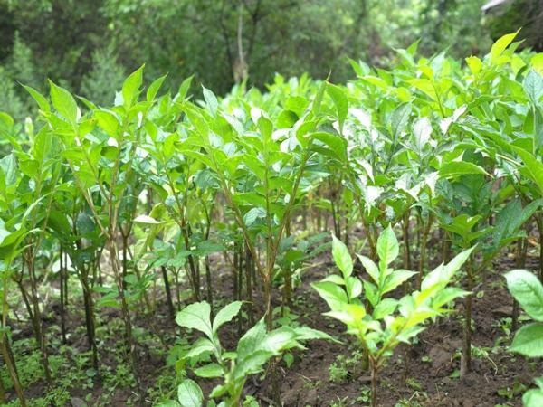 四川魔芋种植技术