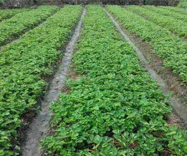 襄阳草莓苗高温病虫害防治
