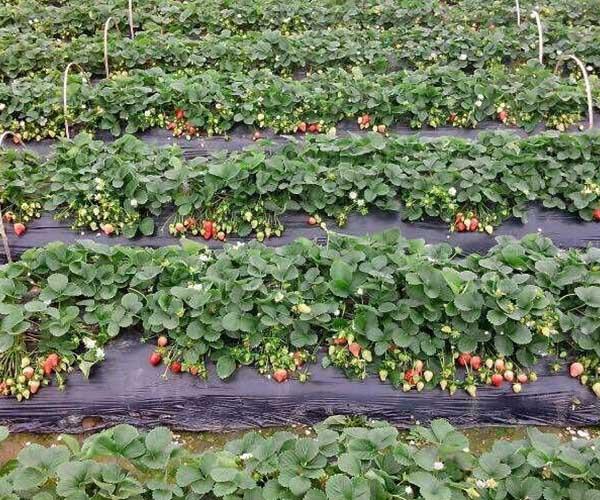 襄阳草莓苗批发教你草莓苗种植怎么起垄
