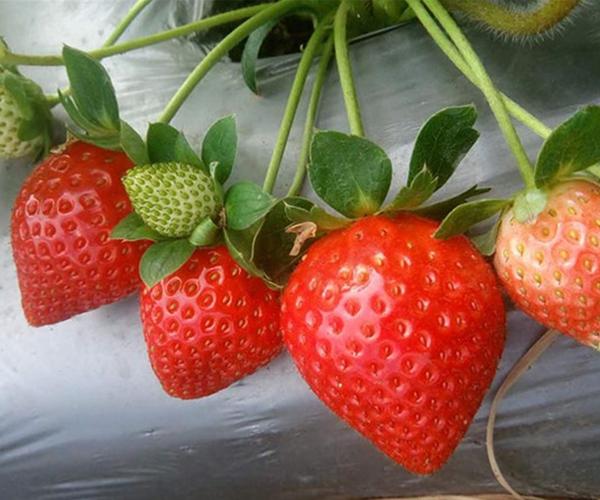 法兰地草莓