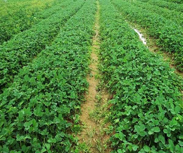 法兰地草莓苗