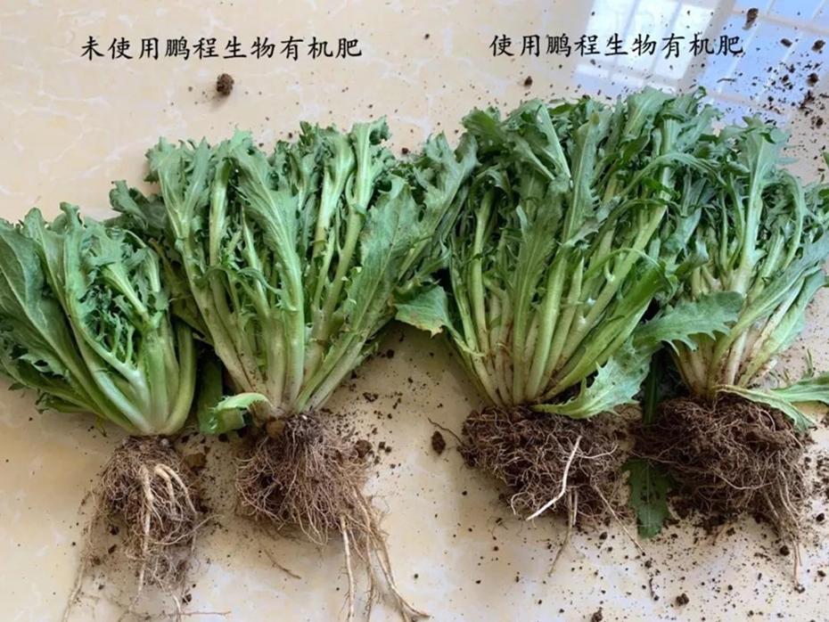 细叶生菜根系对比